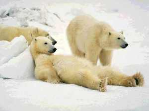 polar bears, lazy, bears, relaxing, ice